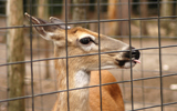 Protective deer fencing